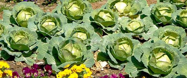Овощи на удобрениях Коуд